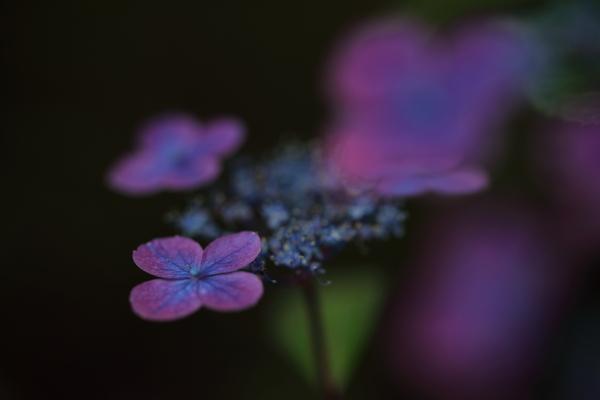 濃い紫の紫陽花
