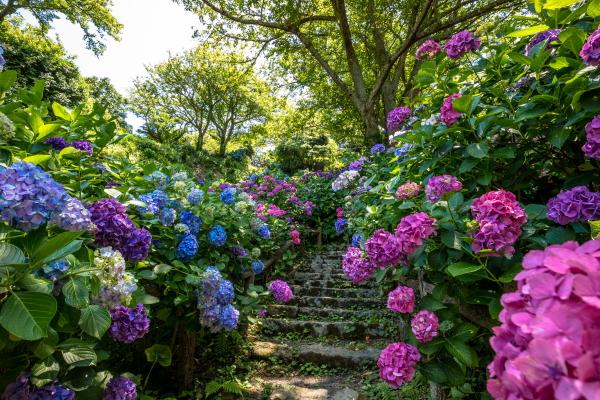 生い茂る紫陽花