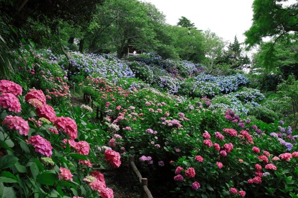下田公園圧巻の紫陽花風景