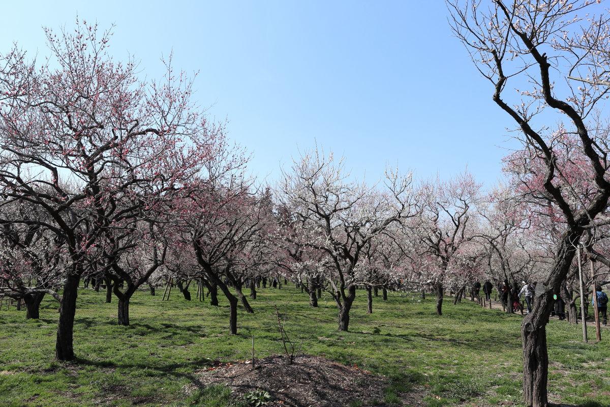 熱海 梅園 開花 状況 2020